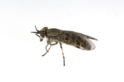Kriebelmücke Bremse